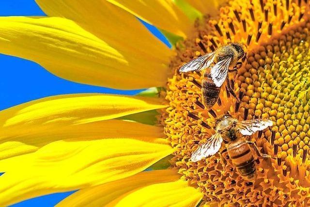 Wie machen Bienen Honig?