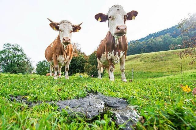 Wie fängt man eine Kuh?