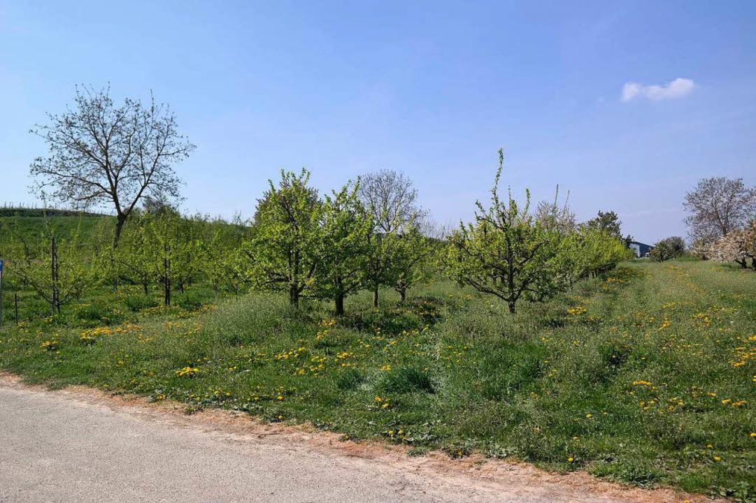 Pflaumenbäume mit leichtem Schildlaus-Befall    Foto: Landwirtschaftliches Technologiezentrum Augustenberg (LTZ)