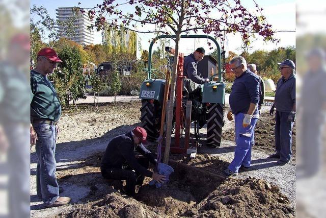 Lahrer Bäume schlagen neue Wurzeln