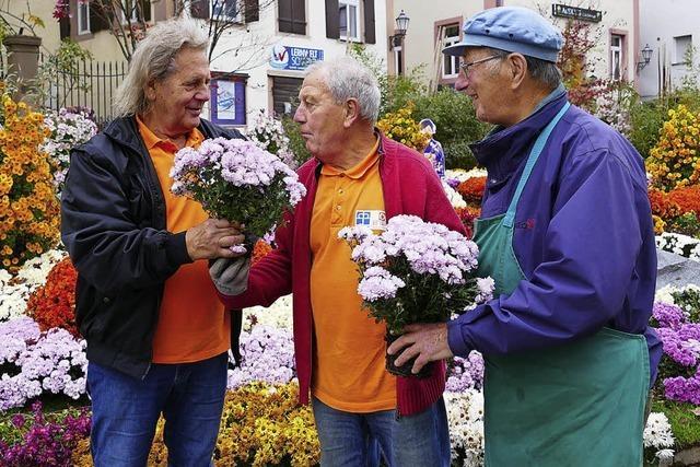 Die letzten Chrysanthemen