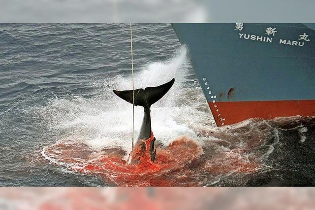 333 Zwergwale sollen getötet werden