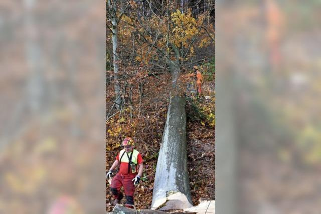 Etwa 100 Bäume werden gefällt
