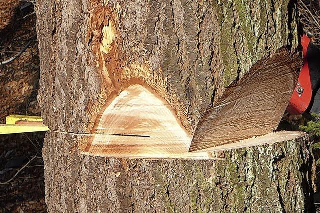 Douglasie Baum der Zukunft