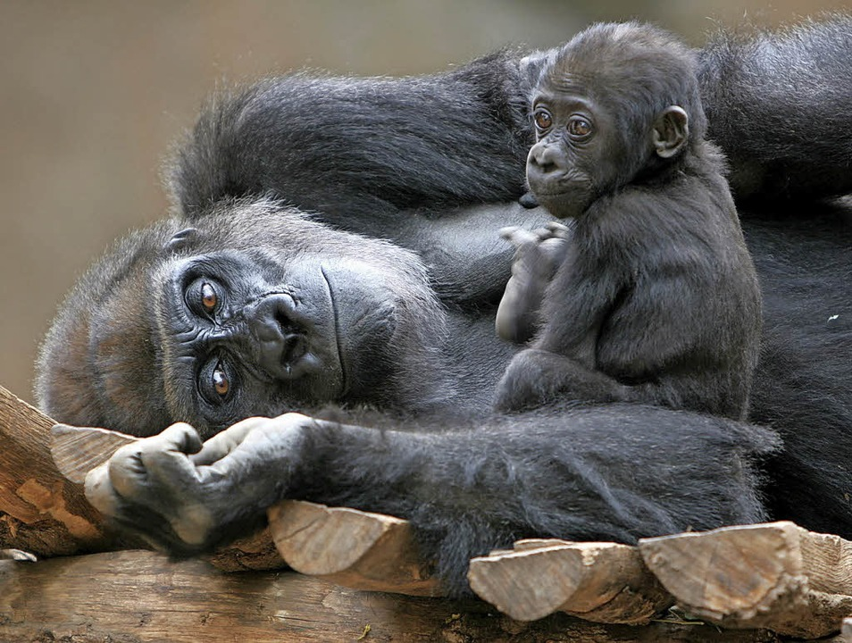 Berggorillas sind dank Schutzgebieten ...sind aber immer noch stark gefährdet.     Foto: dpa/ Jenny Sturm (fotolia)