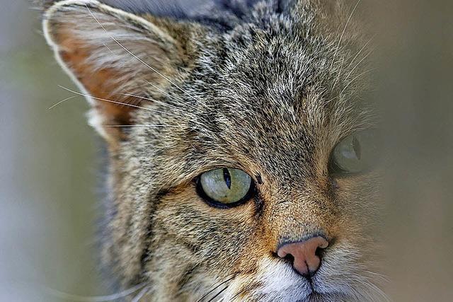 Buchvortrag über die Rückkehr der Wildkatzen