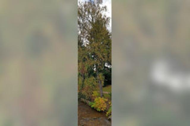 16 Bäume sollen weichen