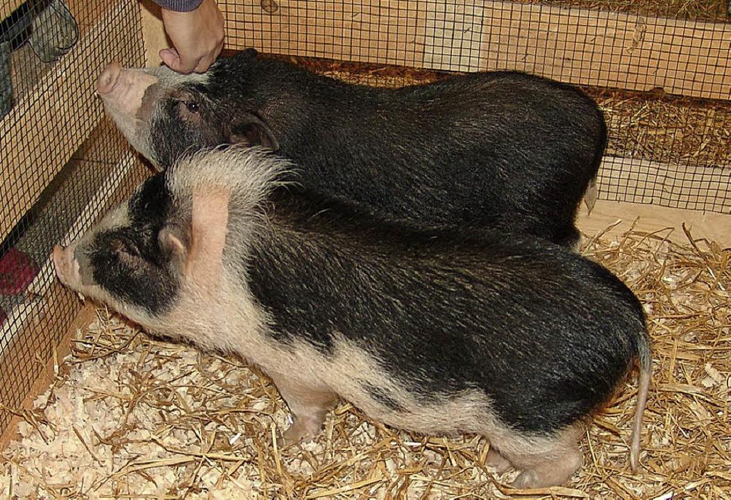 Sie waren so was wie die Stars der Ausstellung: die beiden Minischweine.  | Foto: Heinrich Fehrenbach