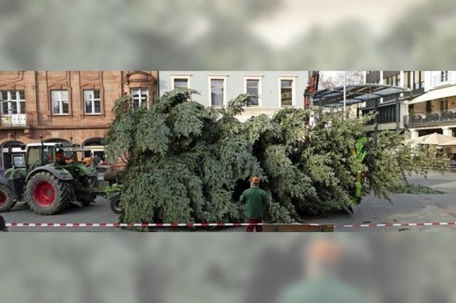 Der Weihnachtsbaum kommt aus Haagen
