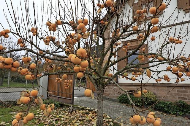 Kaki-Baum in Heiligenzell