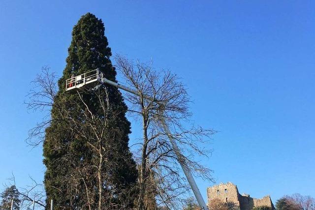 Ein Mammutbaum wird in Badenweiler zum Weihnachtsbaum