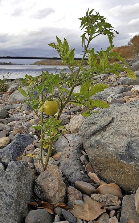 Tomaten im Rhein bei Bonn  | Foto: Sabine Wolter