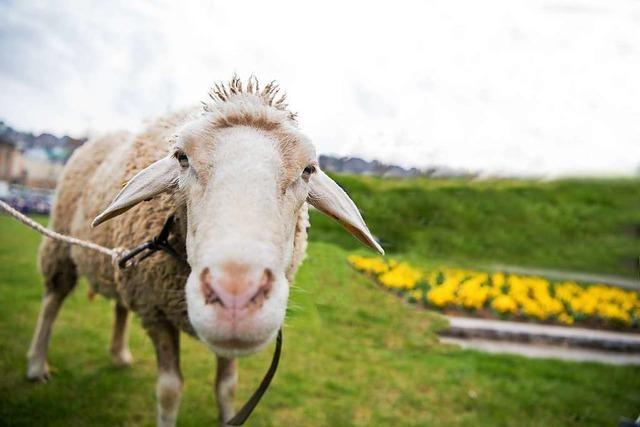 Schafe sorgen für Zugunterbrechung auf der Hochrheinbahn