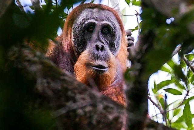 Seltene Orang-Utan-Art droht auszusterben