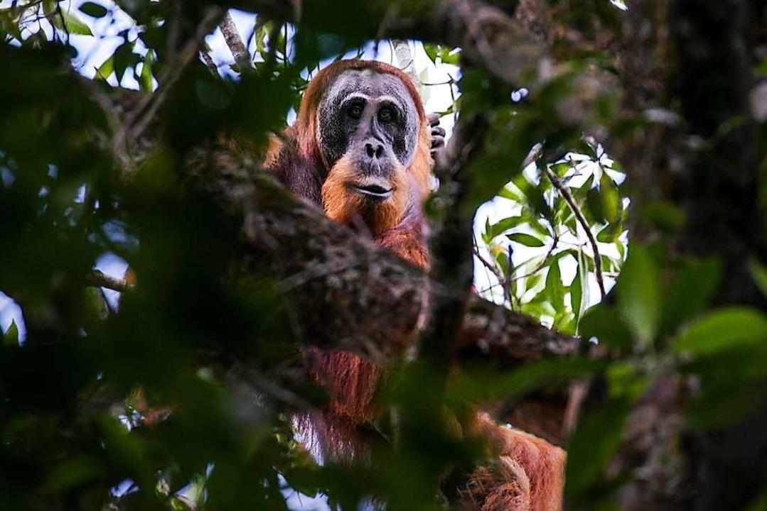 Scheu: ein Tapanuli-Orang-Utan  | Foto: dpa