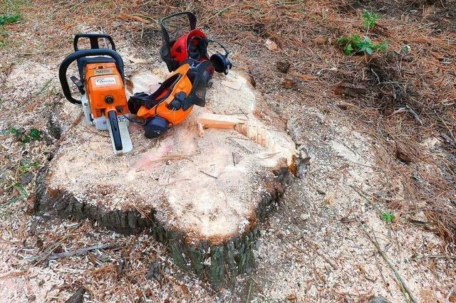 Die Hälfte der Mammutbäume aus dem Seepark werden zu Hackschnitzeln