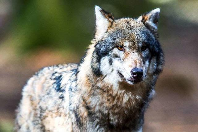 Hochschwarzwälder Landwirte wollen sich gegen die Rückkehr des Wolfs formieren