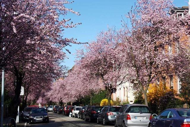 Aufregung in der Wiehre: Vier neue Kirschbäume blühen in der falschen Farbe