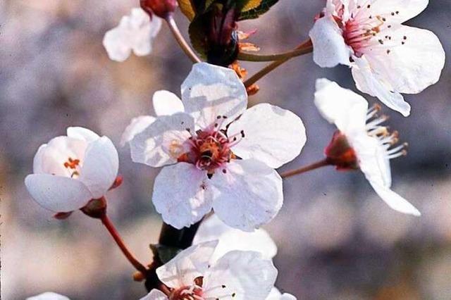 Barbara: eine Heilige, die Blüten treibt