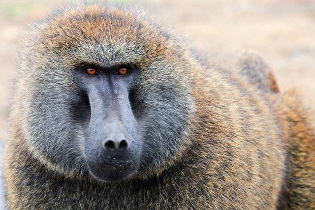 Affe wurde Schweineherz erfolgreich transplantiert