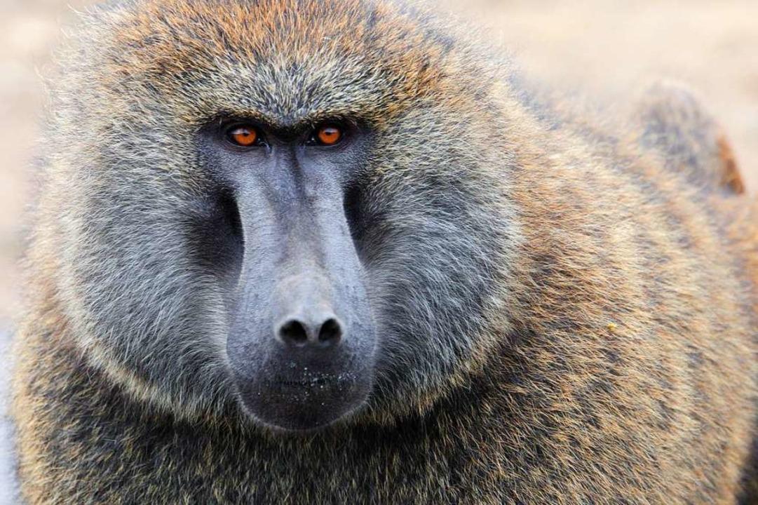 Pavian  | Foto: wffw