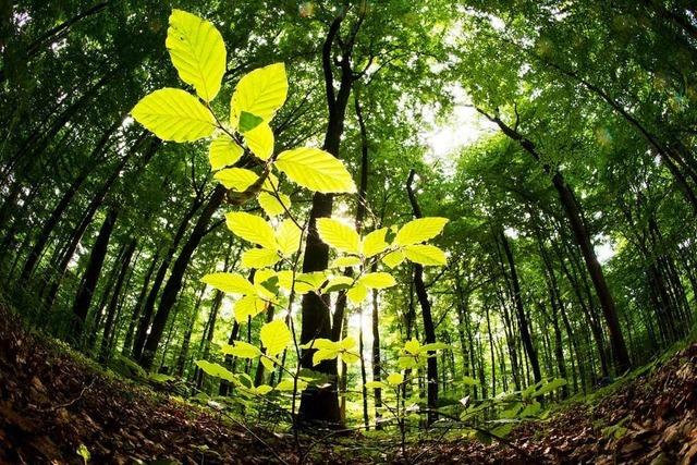 Der Klimawandel ist eine Gefahr für die Buchen im Schwarzwald