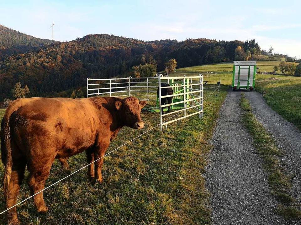 Zuerst werden die Tiere an das Gatter gewöhnt.  | Foto: Julian Liewer/SMA