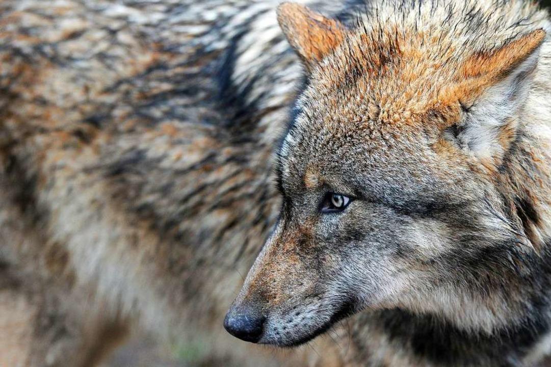 Zu welchem Rudel gehört der Wolf? (Symbolbild)  | Foto: dpa