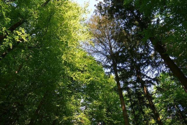 Dem Dürretod nahe Bäume zeigen regelrechte Panikreaktionen