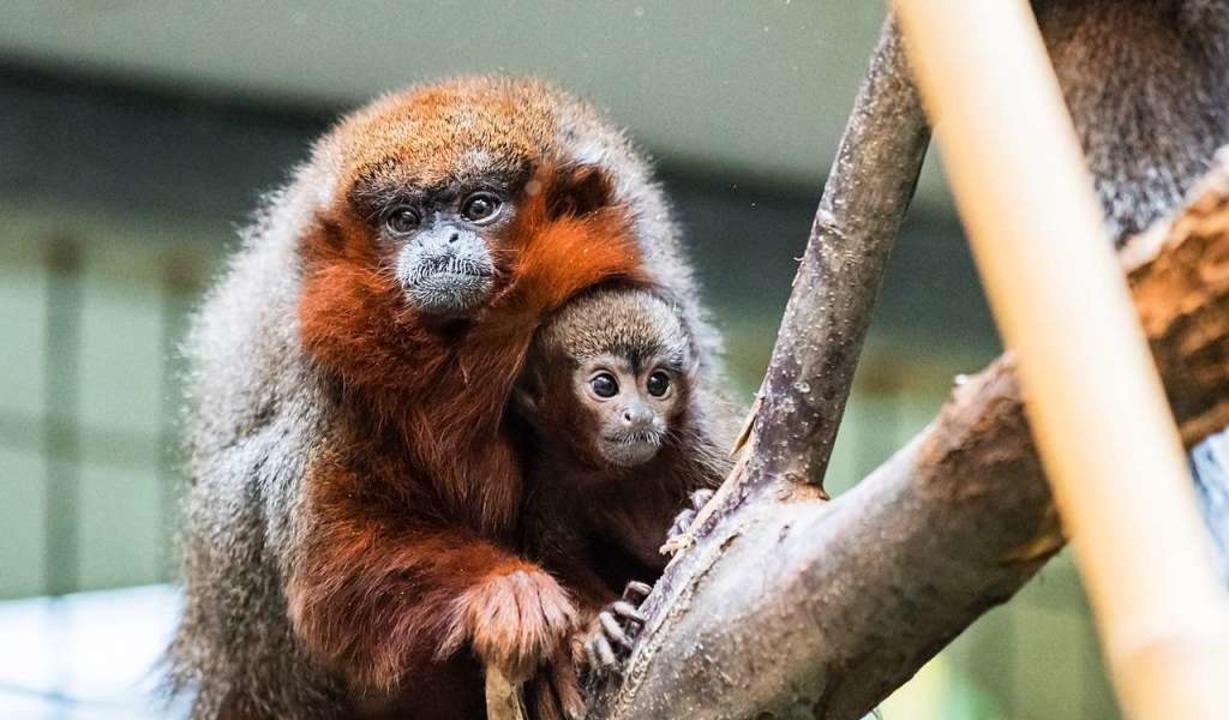 Noch ganz nah bei der Mutter: Nachwuchs Payaso  | Foto: Zoo Basel (Torben Weber)