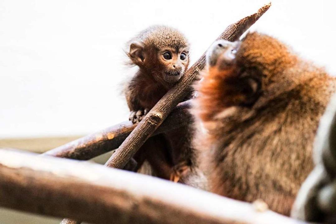 Neugieriger Blick  | Foto: Zoo Basel (Torben Weber)