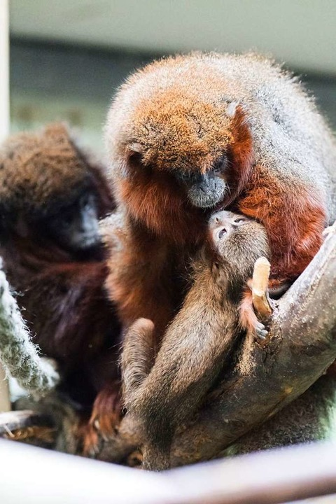 Ganz viel Liebe  | Foto: Zoo Basel (Torben Weber)