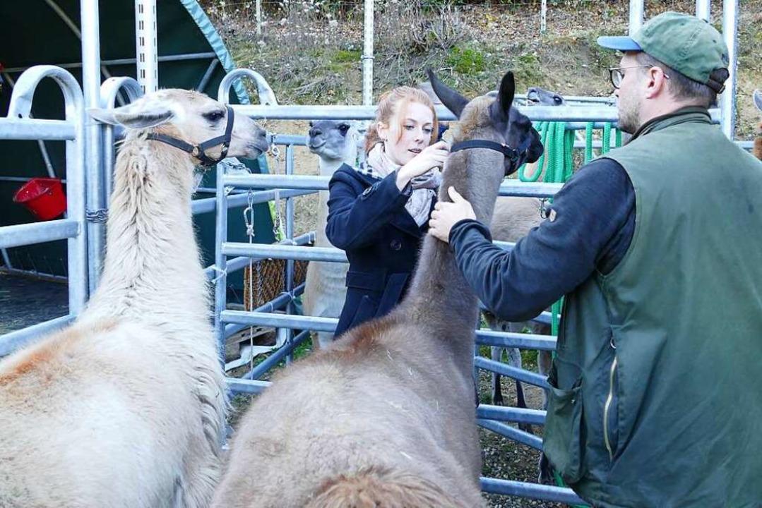 Behutsam werden den Lamas Halfter aufgesetzt.  | Foto: Nikola Vogt