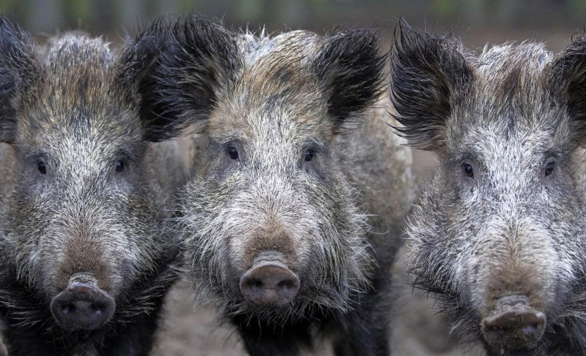 Wird die afrikanische Schweinepest fes...t eine Sperrzone eingerichtet werden.     Foto: dpa