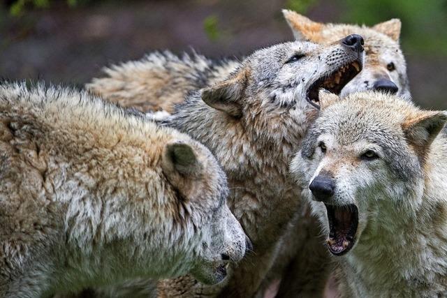 Grüne wollen Wölfe weiter nicht jagen