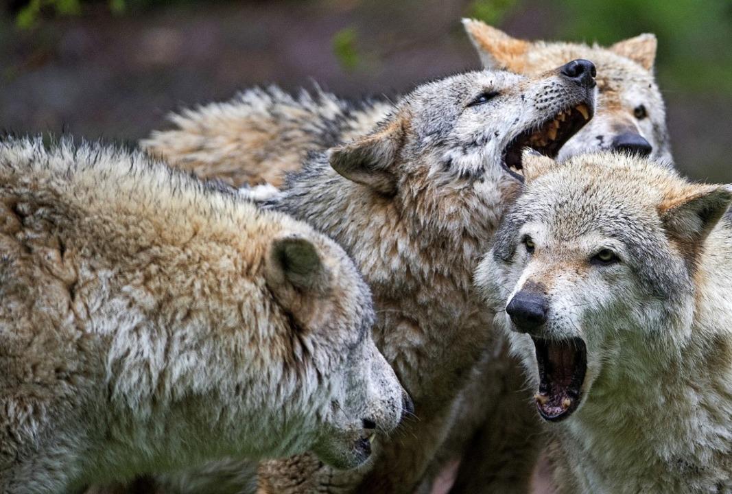 Der Wolf ist zurück im Land – un...r die Regierungsparteien in Stuttgart.  | Foto: dpa