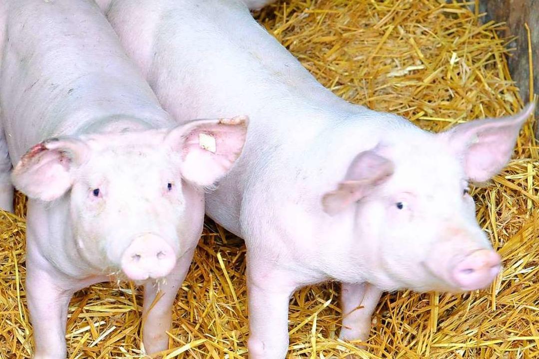 Im Stroh fühlen sich Schweine sauwohl.  | Foto: Martin Pfefferle