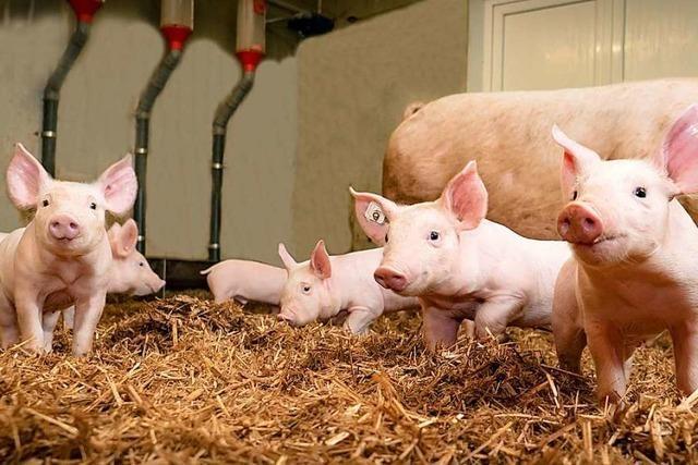 Tierschutzverein Rheinfelden setzt sich für Ferkel ein