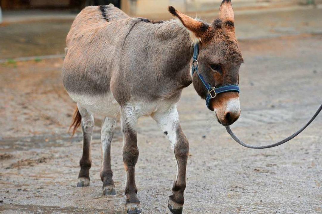 Bei Doktor Jusef werden Eseln kostenlos behandelt.  | Foto: dpa