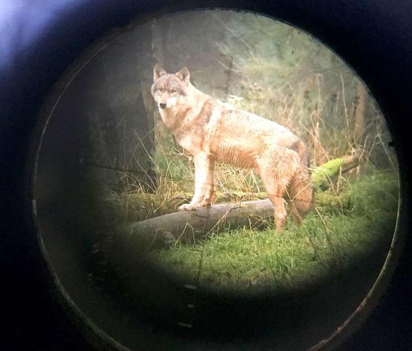 Wolf in Sicht? Die Kotprobe eines verm...ntdeckt: Das Tier ist bereits bekannt.    Foto: dpa