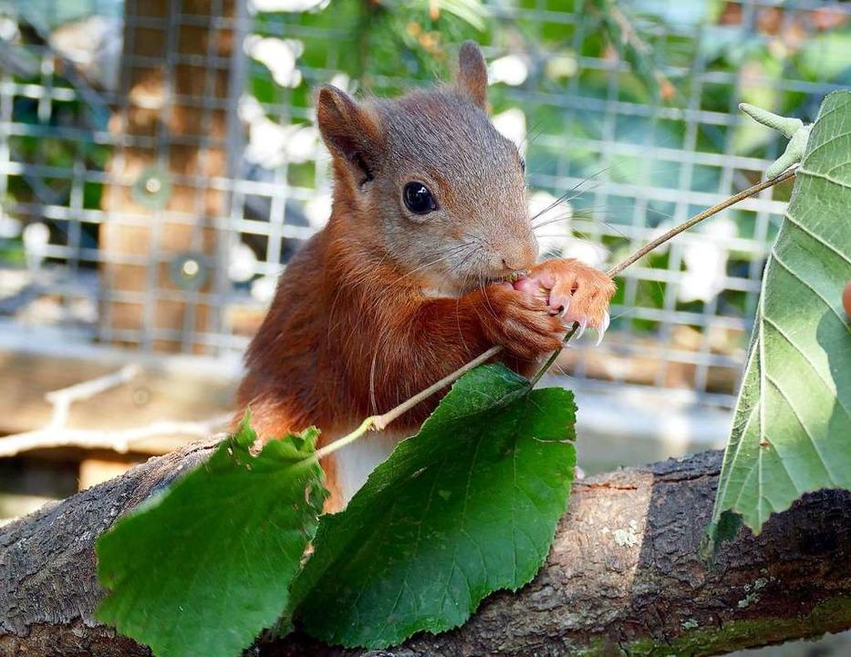 Eichhörnchen Pippilotta  | Foto: dpa