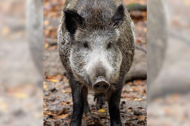 Wildschweins Glück, Jägers Pech