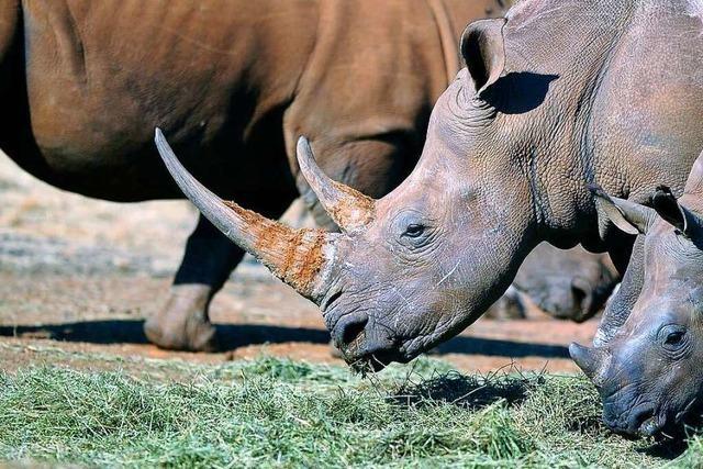 Aus was besteht das Horn eines Nashorns?