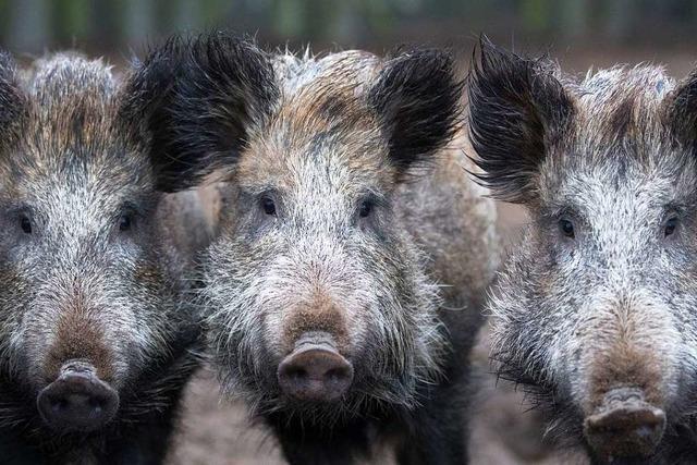 Wie sich der Kreis Lörrach auf die Afrikanische Schweinepest vorbereitet