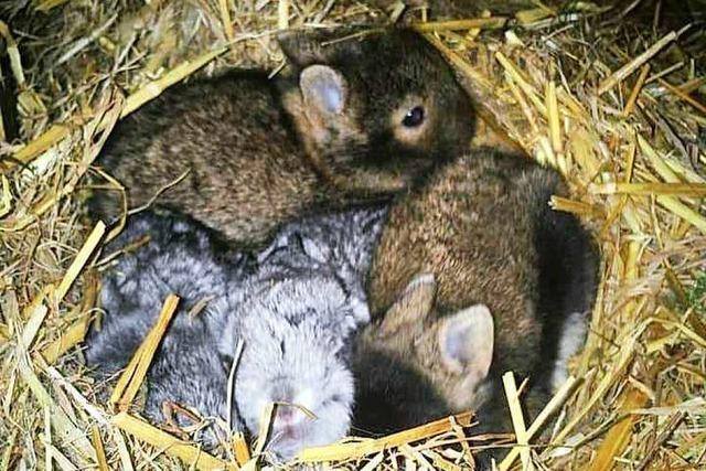 Grenzach-Wyhlen: Sechs Kaninchen aus Stall gestohlen