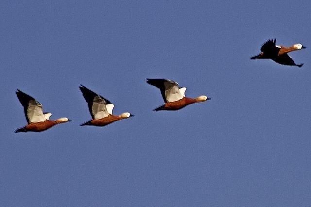 Mit dem Nabu zu überwinternden Wasservögeln am Stauwehr Märkt und auf der nahen Rheininsel
