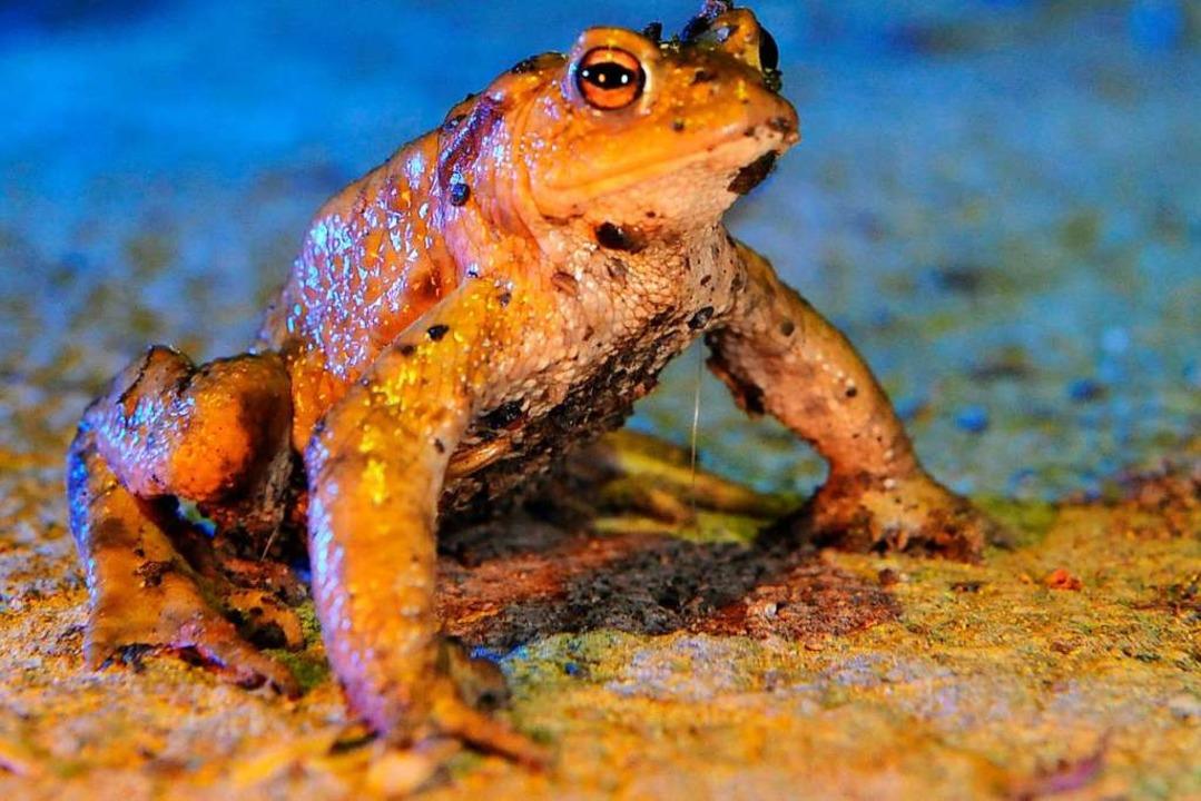 Eine Erdkröte.  | Foto: dpa