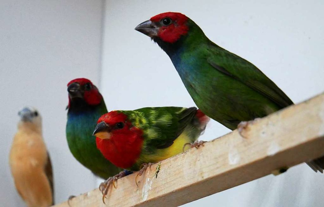 Diese Zuchtvögel schickt  Ralf Beha  zur Weltvogelschau nach Zwolle.     Foto: Eva Korinth