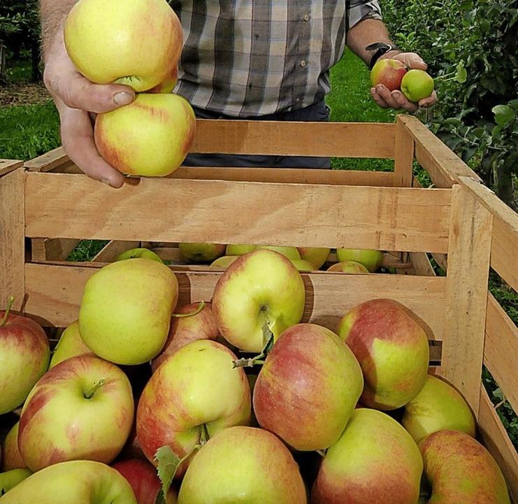 Vornehmlich Äpfel werden  auf Ettenheimer Streuobstwiesen geerntet.   | Foto: ARCHIVFOTO: GOLLRAD