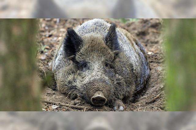 Am Samstag werden Wildschweine gejagt
